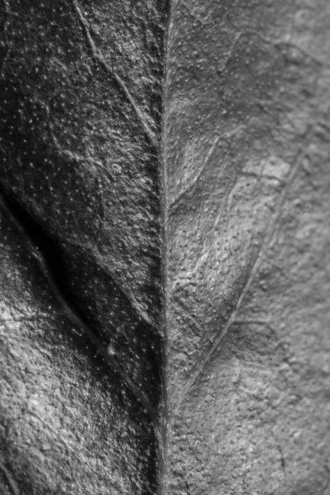 The centre of a tiny leaf, converted to black and white