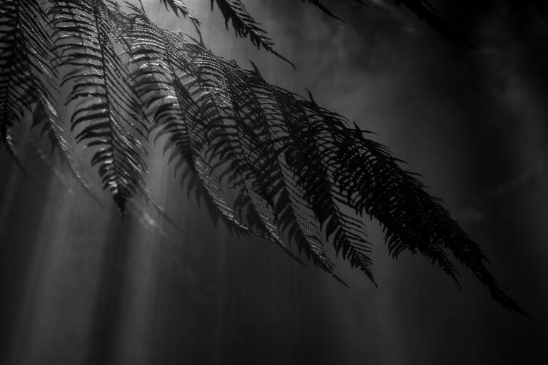 Rainforest Fern